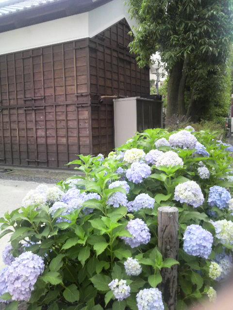 久本薬医門公園の紫陽花